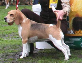Beagle IMG_5914111